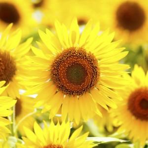 おすすめ「ひまわり畑」はどこ?ひまわりの花言葉・季節・育て方もご紹介