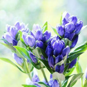 「リンドウ」が開花する季節はいつ?名前の由来・花言葉・贈り方は?