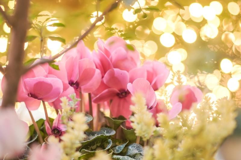 ピンクのシクラメン