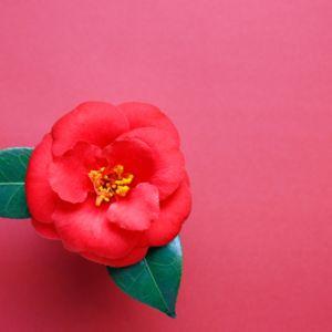 【和風好き必見】椿の季節って?椿柄の着物の季節&和風の椿アイテム!