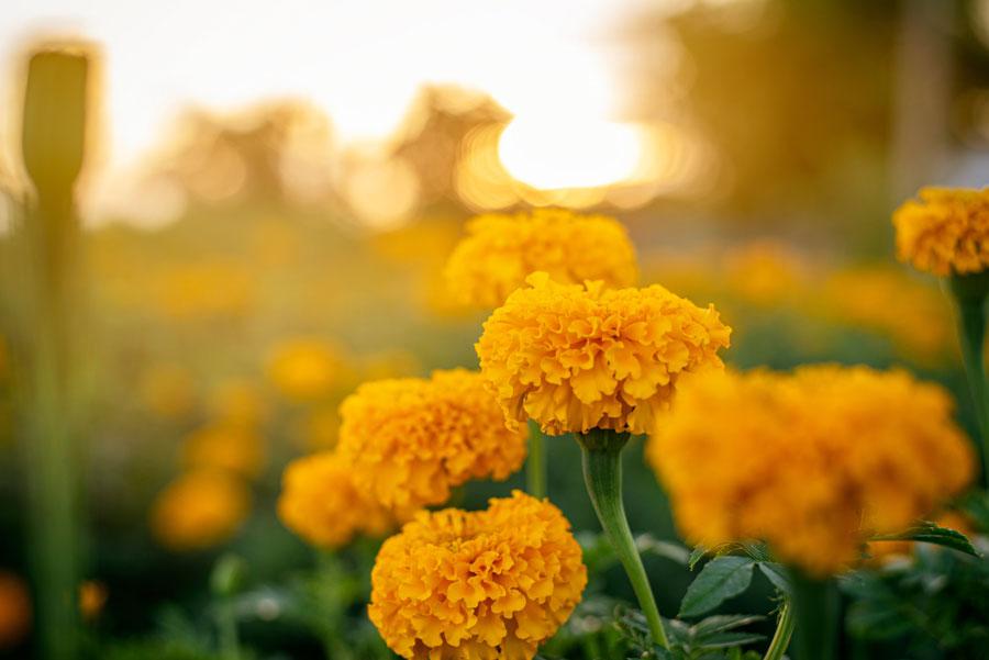 マリーゴルドの花