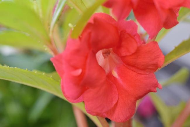 ホウセンカの花