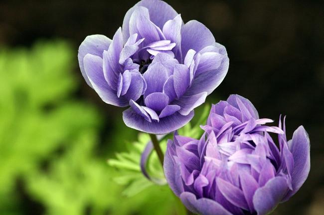 紫のラナンキュラス